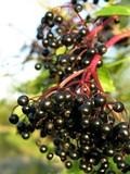 bunches of elder berries poster