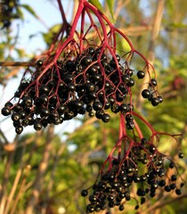 cluster of elder berries on an elder bush