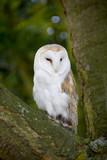 barn owl kingsbury water park warwickshire midlands england poster