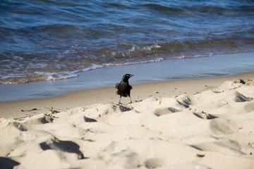 blackbird on the beach