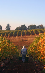 harvest in the vineyard
