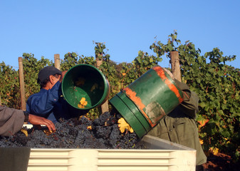 men dumping buckets of grapes