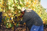 man harvesting grapes poster
