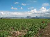 champ de canne à sucre et montagnes en fond poster