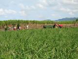 travaux dans les champs de cannes poster