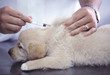 golden retriever puppy vacinating