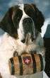 st-bernard chien