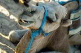 camel biting poster