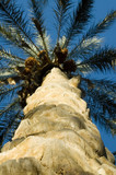 trunk of palm tree from below poster