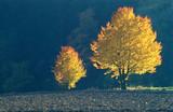 Fototapety Herbst, zwei Bäume mit Herbstfärbung, Gegenlicht, Copyspace
