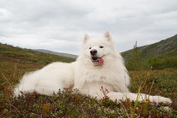 samoed in the khibiny mountains