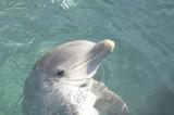 bottlenose dolphin head poster