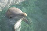 bottlenose dolphin headshot poster