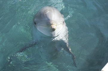 atlantic bottlenose dolphin headshot