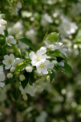 blossom of apple tree