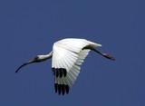 white ibis in flight poster