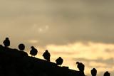 rooftop birds poster