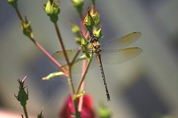 dragonfly 130.