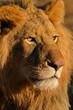 Leinwanddruck Bild big male lion 11