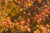 leaf cluster in fall colors poster