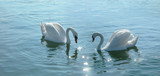 romantic swans couple in a lake. poster