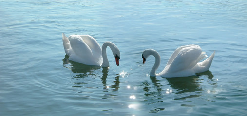 romantic swans couple in a lake.