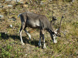 reindeer grazing on a meadow poster