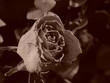 antique rose sepia