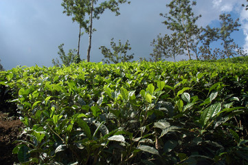 india, kerala: tea plantation