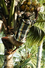 india, kerala: harvesting coconut