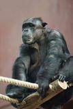 big boss schimpanse poster