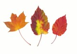 autumn red different leaves poster