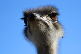 anxious ostrich poster