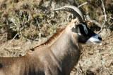 proud antelope poster