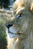 lion nose poster