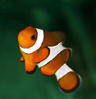 poisson clown orange et blanc