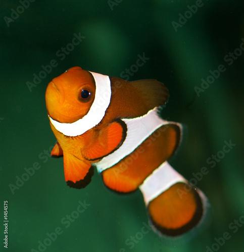 Photo poisson clown orange et blanc for Poisson clown prix