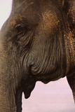 asian (indian) elephant head poster