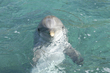 dolphin head shot, cute