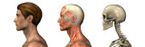 anatomical overlays - male - head and shoulders - poster