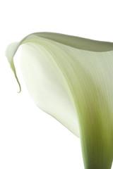 calla lily 22