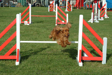 dog jumping in competition show