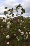 cotton plant poster