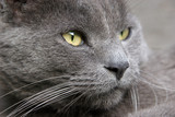 gray cat close-up portrait poster