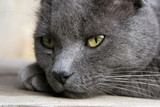 gray cat deep in thought - portrait poster