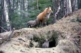 red fox checking den poster
