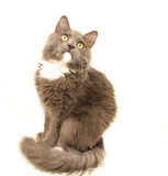 gray cat looking up poster