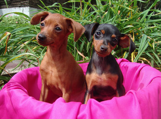 two mini pinscher puppies