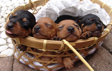 snoozing pinscher puppies