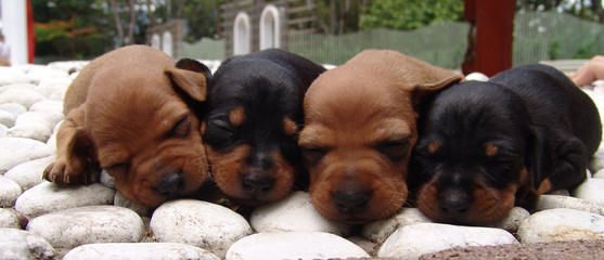 four sleeping pinschers
